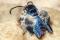 Heterosphecia tawonoides