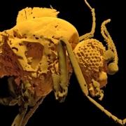 the Camptopterohelea odora